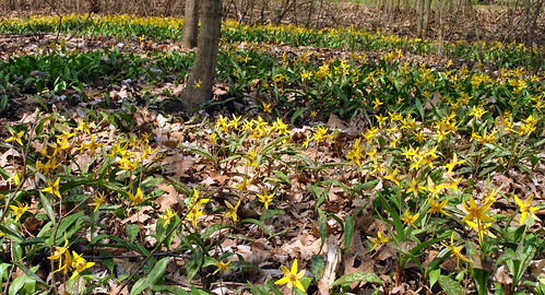 Trout Lily 060511_0501 | by Hilbert 1958