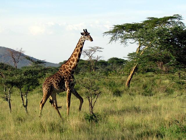 Giraffe - Serengeti National Park safari - Tanzania, Africa