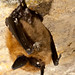 Eastern small-footed bats