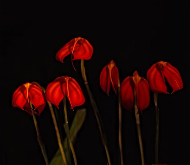 Orchidées variété Masdevallia