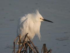Snowy Egret, Delaware