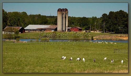 barn farm goats raymond gitzo grazing redbarn grainelevators siloh xcellence raymondf 04122011 msox manfrottoschollxcellence