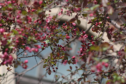 Crabapple in bloom