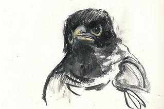 Baby Myna Bird