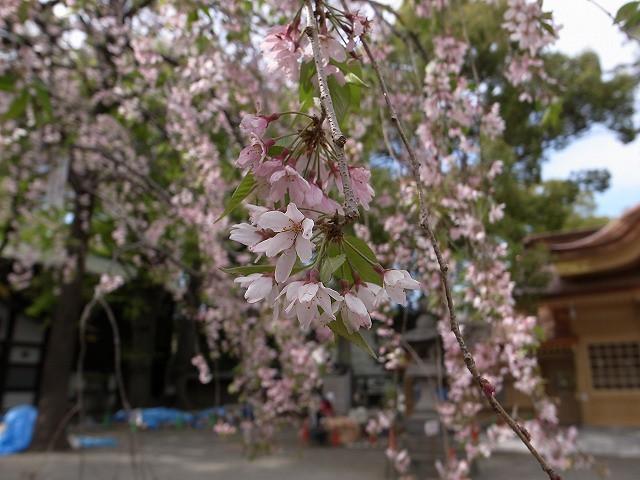 <p>f)大国魂神社の桜です。</p>
