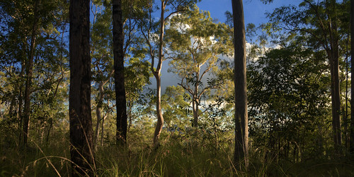 trees forest australia eucalypt queensland eucalyptus lateafternoon hikingtrail gympie glastonburycreek brooyarstateforest