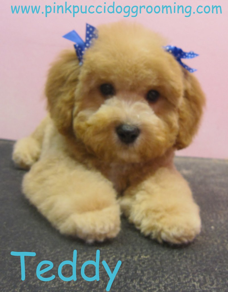 Toy Poodle Grooming Styles Flickr