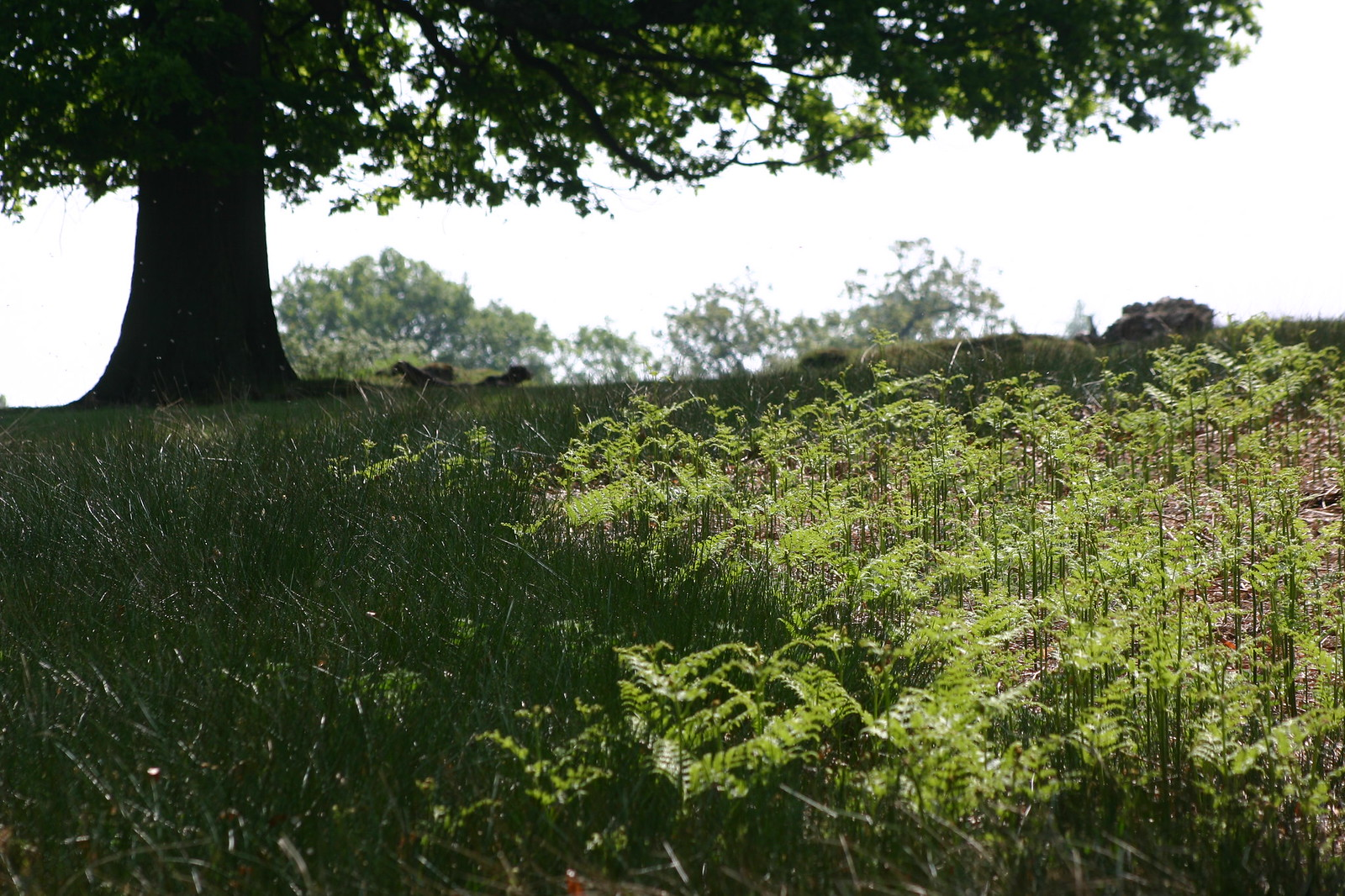 Bracken Grass and tree Duchess Walk