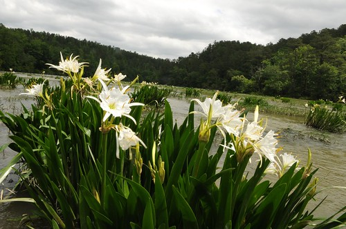 Lilies at Cahaba River National Wildlife Refuge | by USFWS/Southeast