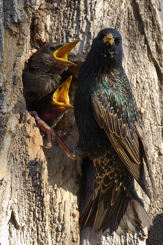 nestingbirds