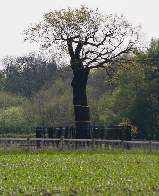 Boscobel oak