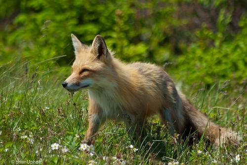 Mama fox   by Brian U