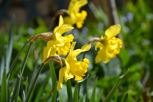 Narcissus - les narcisses - Page 3 31872785553_be82073ac8