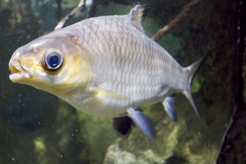Virginia Aquarium & Marine Science Center Bala Shark