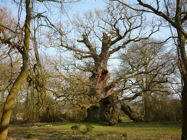 The 'His Majesty' Fredville Oak. One of the largest oak trees in the UK.