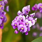 Wisteria Flowers And Bokeh