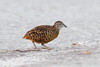 Barred Buttonquail by myrontay