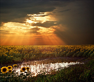 Angel's stairs...Magical sunset light over the sunflower field | by Katarina 2353