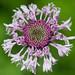 Marshallia legrandii - Photo (c) Suzanne Cadwell, algunos derechos reservados (CC BY-NC)