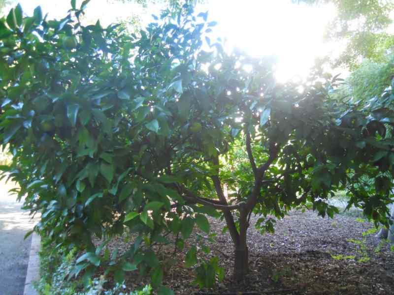 Citrus sinensis 'Salustiana' 3
