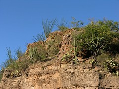 Ocotillos y cacti entre San Rafael de las Tablas y San Juan Capistrano, Zacatecas, Mexico