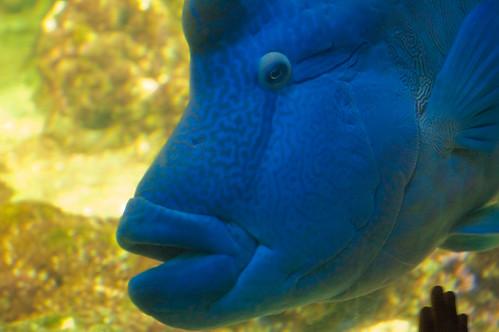 Pescione blu