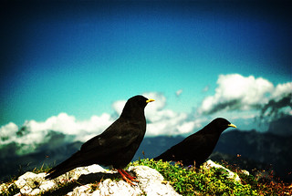 Bergdohlen /alpine chough   by jonny_weissmueller