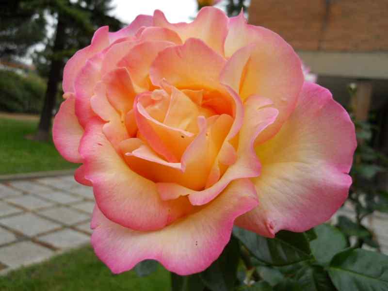 Rosa grandiflora 'Hippy' 1