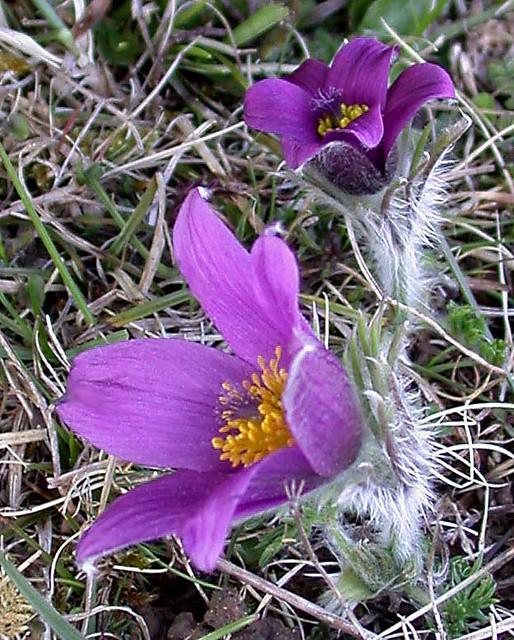 Pasque Flower Pulsatilla vulgaris