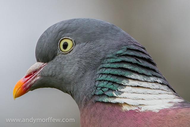 Woodpigeon Portrait