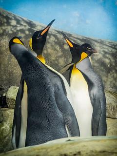 Penguin Juxtaposition - Riverbanks Zoo, Columbia, SC | by cpmishra123