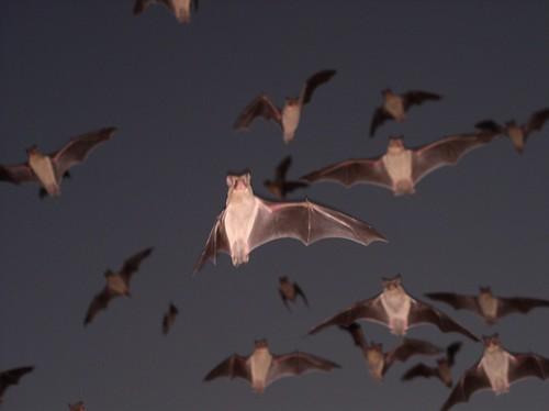 Brazilian Free-tailed Bats 26