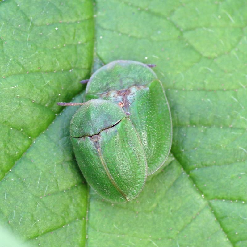 "Green Tortoise Beetle - ""Cassida rubiginosa"""