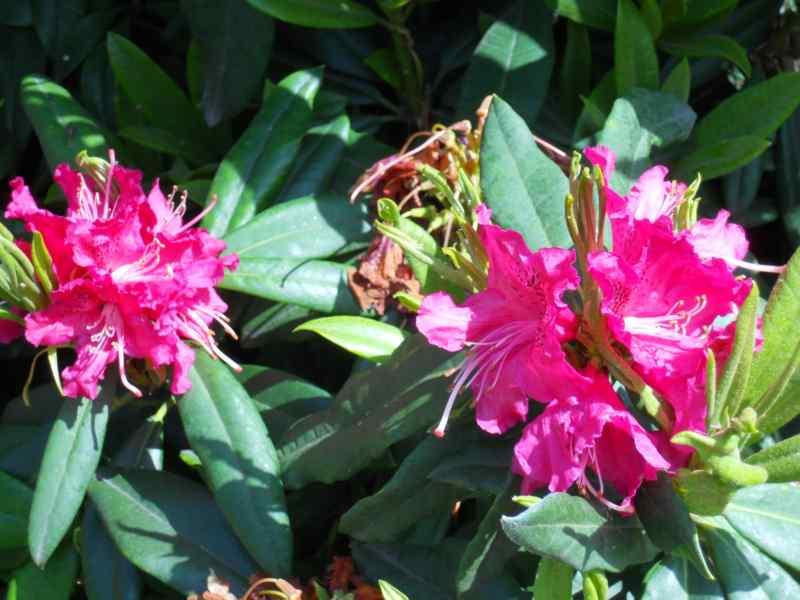 Rhododendron x 'Tina Heinje' 3