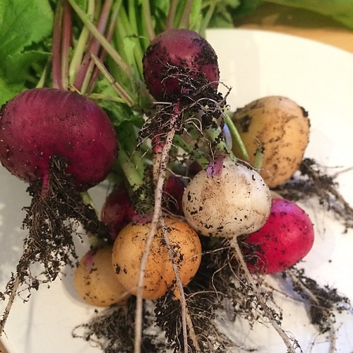 Radishes from the garden   by adactio