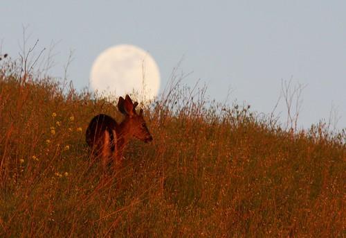 california ca moon nature san jose full fullmoon deer grazing