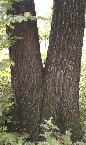 IMAG1337 red oak v-shaped connection with decay split red oak MNoaks | by esagor