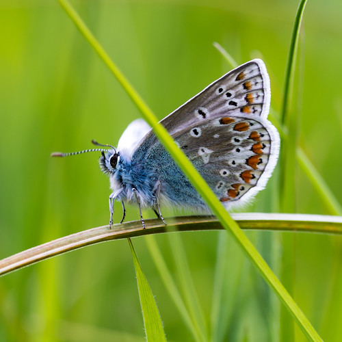 life blue ireland light summer male green nature grass animal june closeup butterfly bug insect square nikon pattern wildlife meadow butterflies insects 100mm tokina pollen icarus common midlands lightroom 1125 2015 westmeath f13 d610 polyommatus kilbeggan iso250