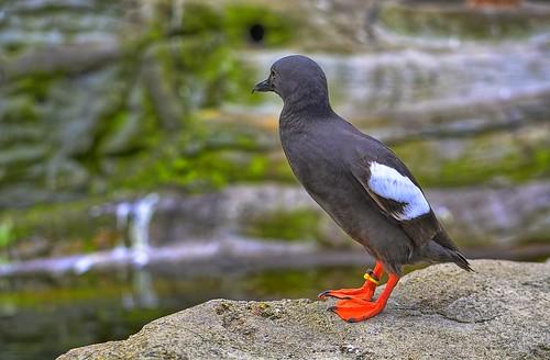 Pigeon Guillemot | by Kirt Edblom