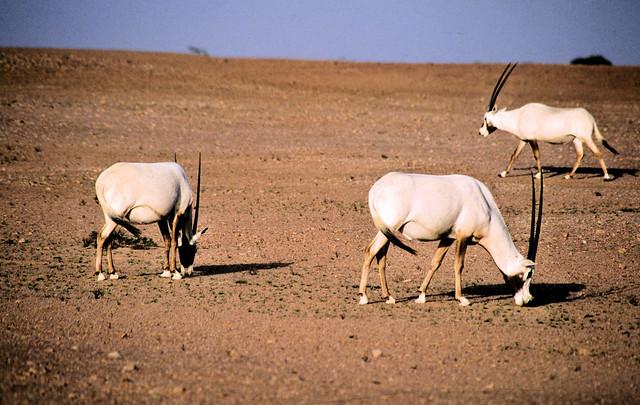Arabian Oryx - Yalouni