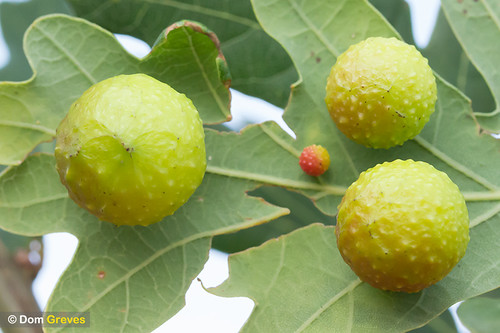 Oak Cherry Galls | by Dom Greves