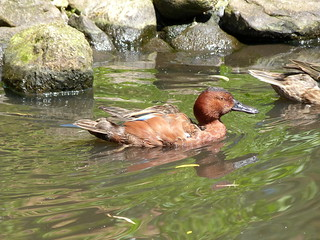 16. Sarcelle cannelle - Anas cyanoptera - Cinnamon Teal | by notjes1966