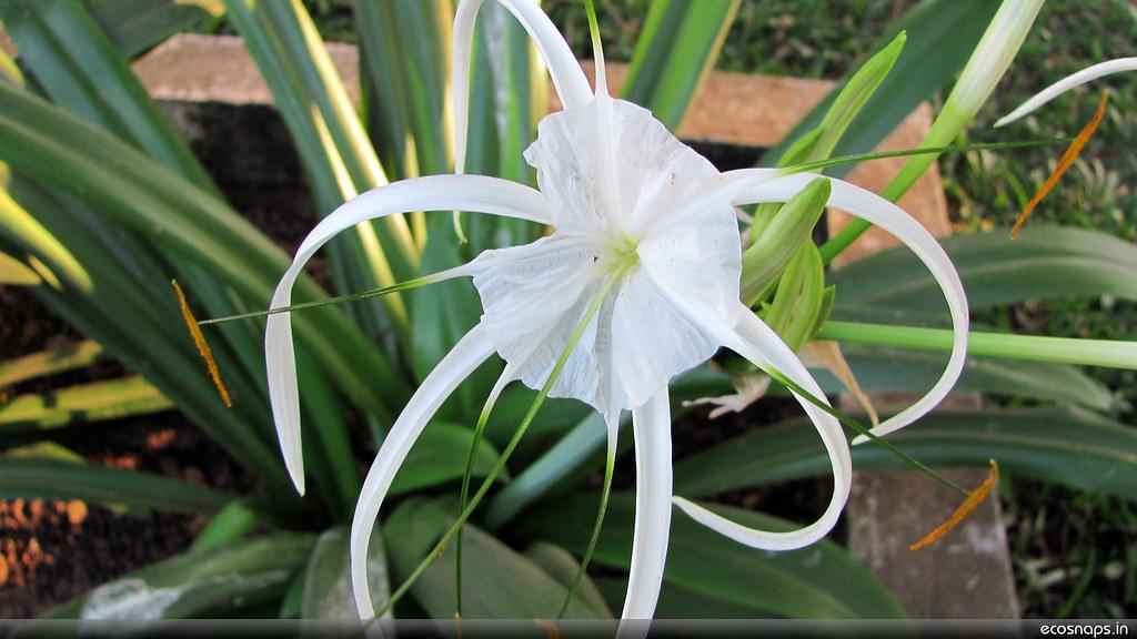 White Flower( Family O...