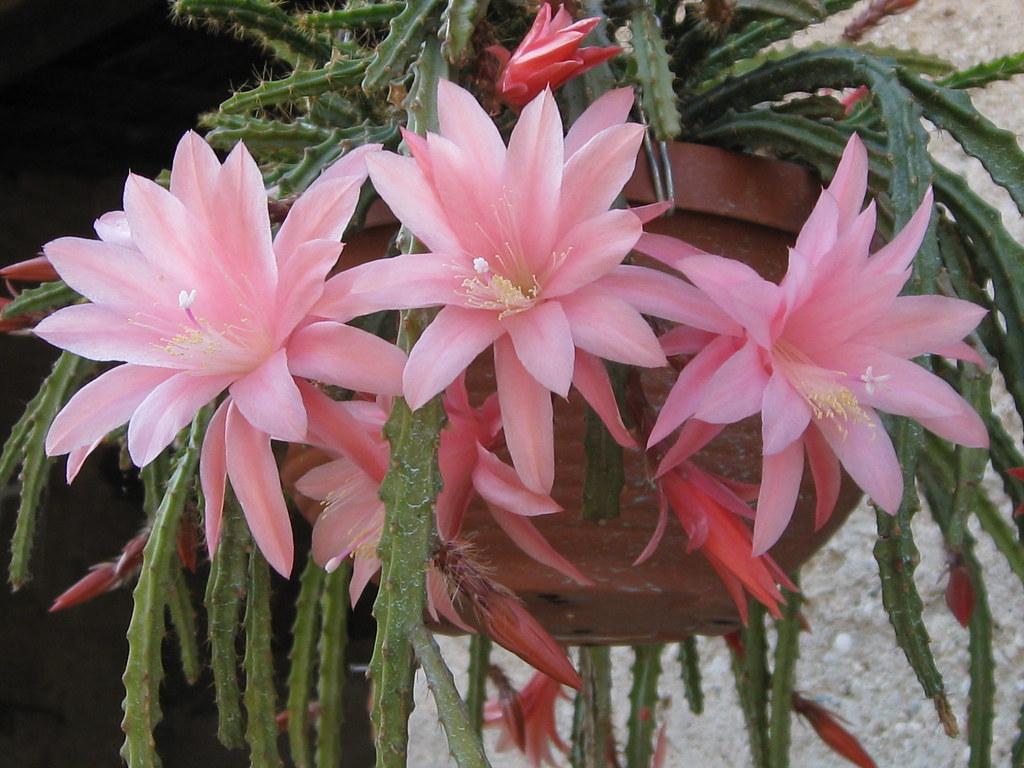 Aporophyllum beauty?