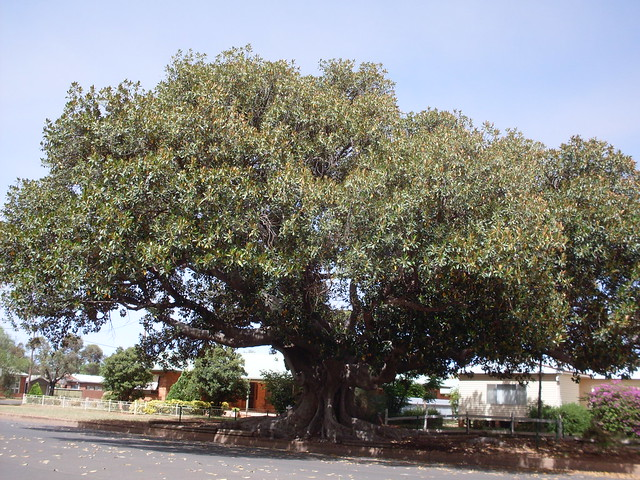 beautiful Fig Tree down a side street in Cobar NSW