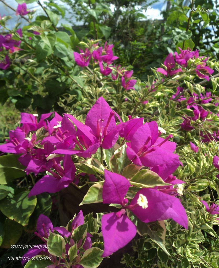 Bunga Kertas Bougainvillea Nama Saintifik Bagi Pokok B Flickr