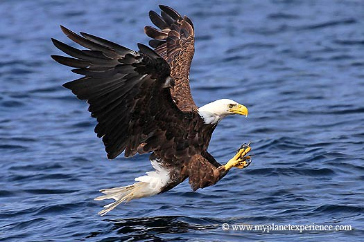 Canada experience : Bald eagle ready for fishing