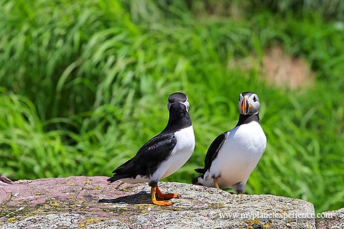 Canada experience : Puffins mirror