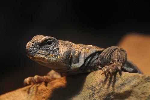 Eyed Dabb Lizard - Photo (c) Joachim S. Müller, some rights reserved (CC BY-NC-SA)