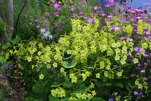 Nicotiana 'Lime Green' & Agrostemma g. 'Milas' | by anniesannuals